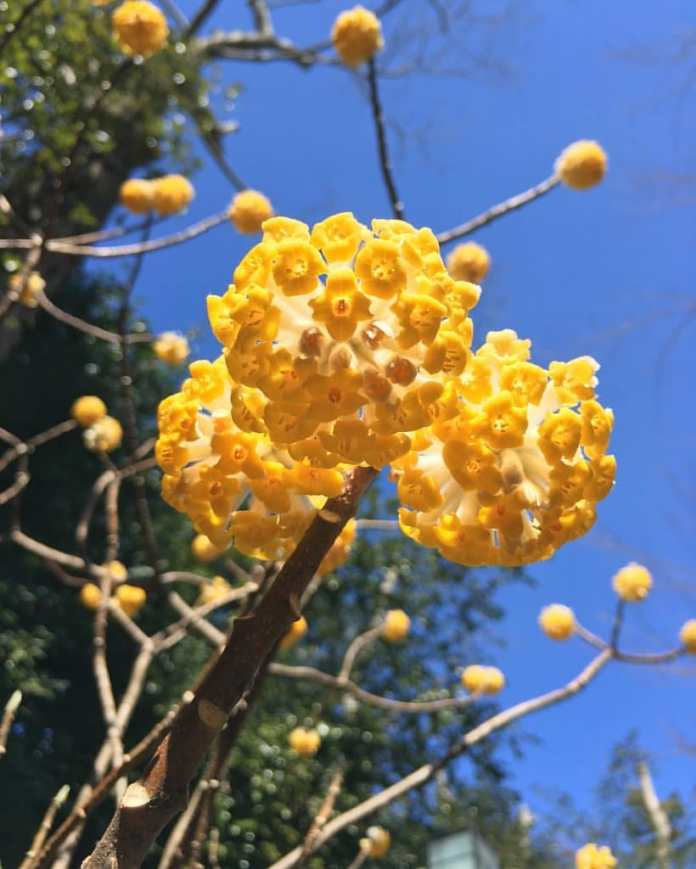 Paperbush Plant (Edgeworthia Chrysantha)