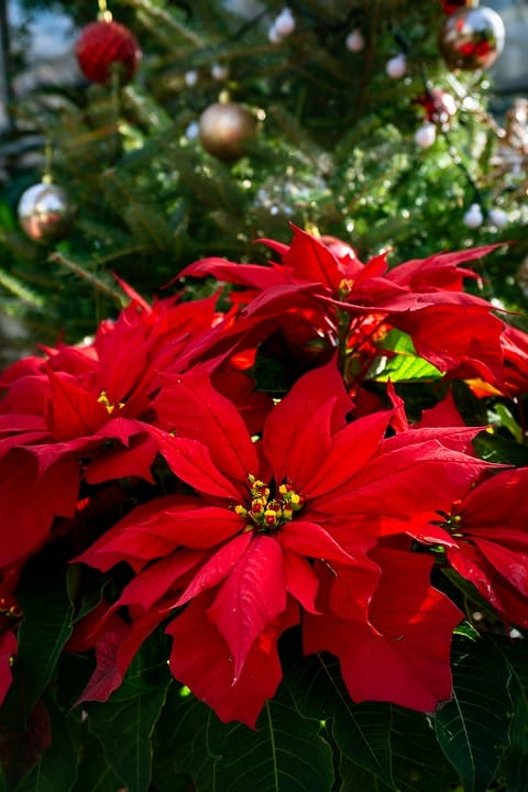 Pointsettia (Christmas Flower, Easter Flower)