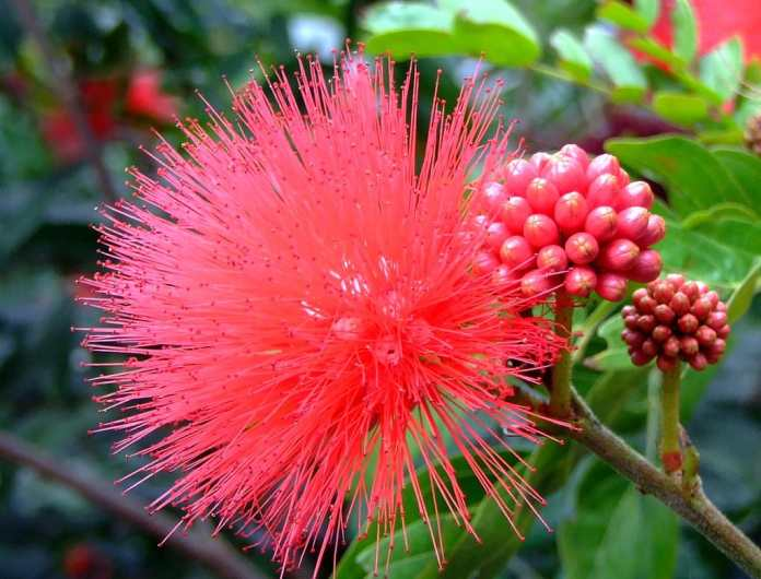 Powder Puff (Calliandra)