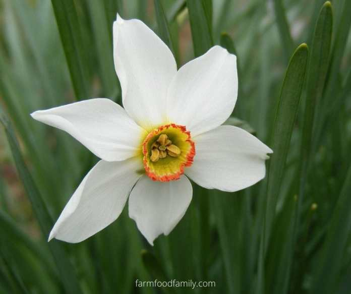 Amaryllis flower color meanings