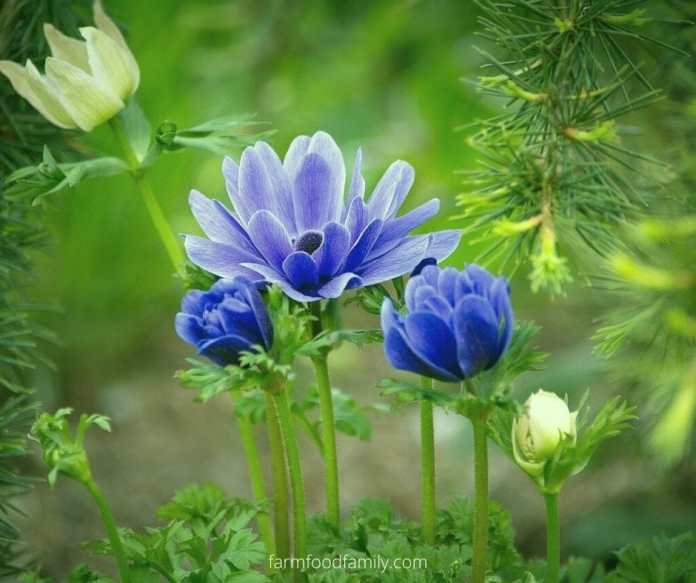 Meaning and Symbolism of the Anemone Flower in Different Cultures