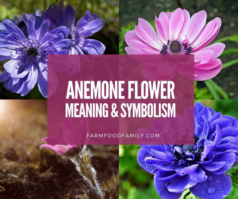 Anemone Flower Meaning, Symbolism - What Does Anemone Signify?