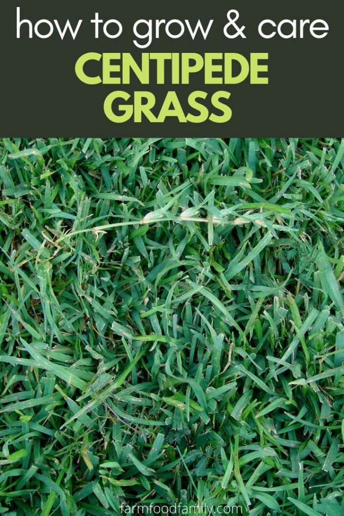 How to grow and care for Centipede grass
