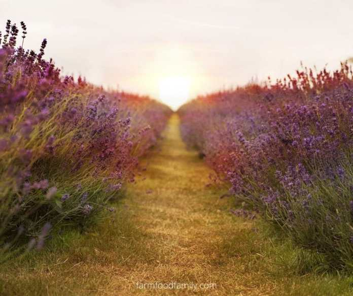 Lavender meaning in different cultures and religions
