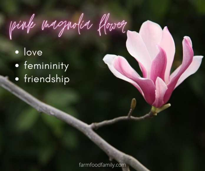 Pink Magnolia flower meaning
