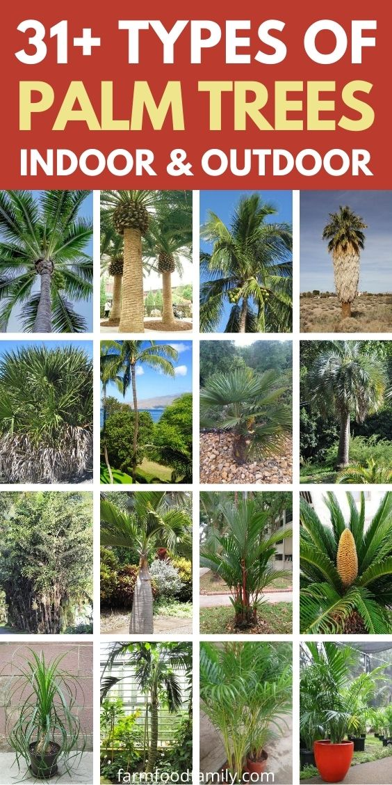 31+ Different Types Of Palm Trees With Pictures (Indoor ...