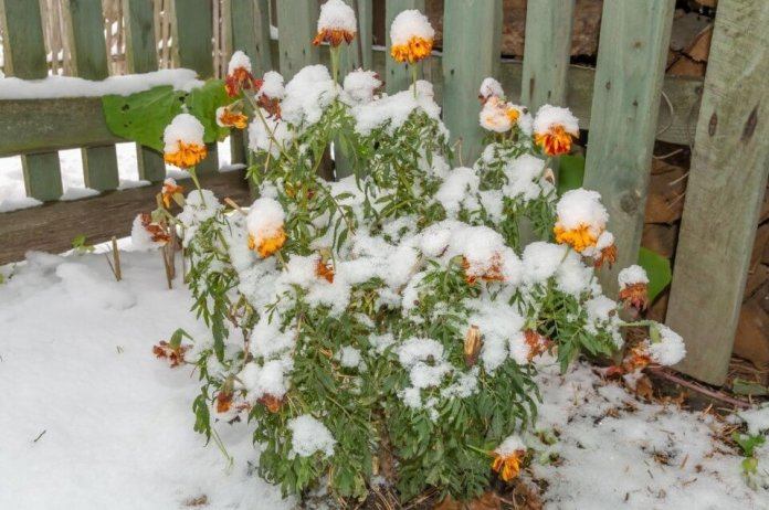 Caring marigolds in winter