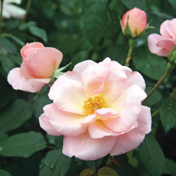 Peachy Knock Out® rose