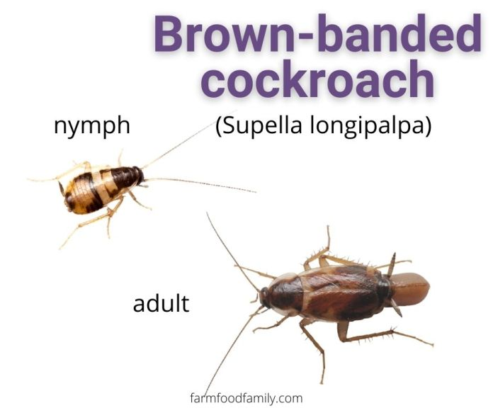 Brown-banded Cockroaches (Supella longipalpa)