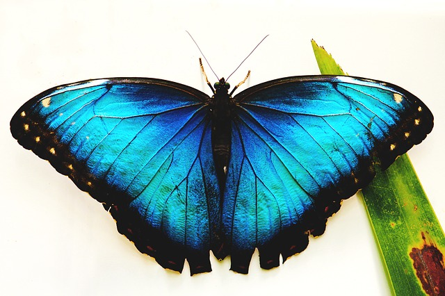 Black and blue butterfly meaning