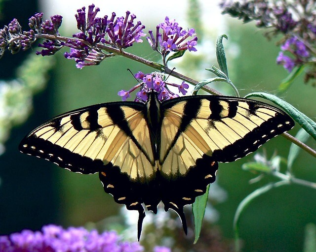 Black and yellow butterfly meaning