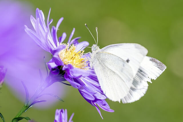 White butterfly meaning