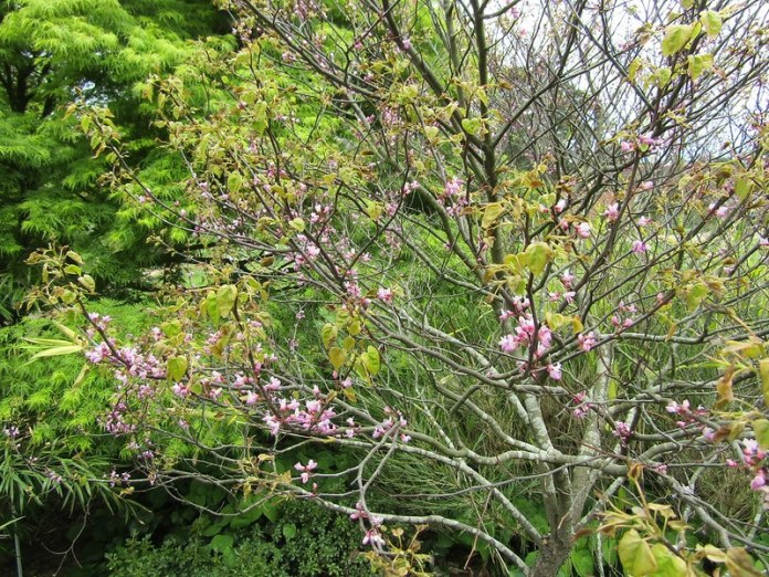 Ace of Hearts (Cercis canadensis 'Ace of Hearts')