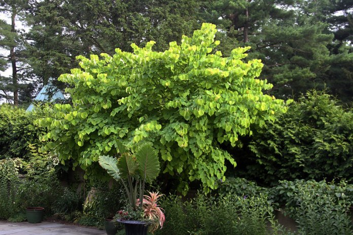 Hearts of Gold (Cercis canadensis 'Hearts of Gold')