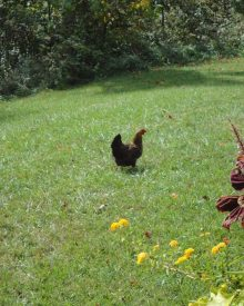 Chicken in the Flowers