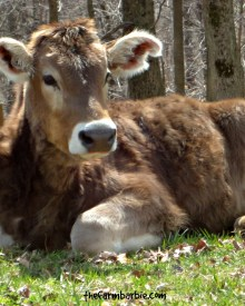 How Do I Stop a Cow From Nursing?
