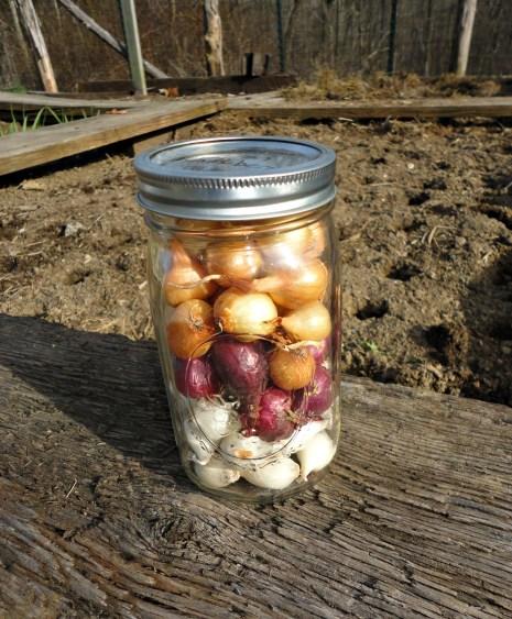 onions 6
