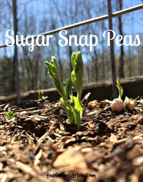 sugar snap feature
