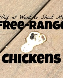 Why I Want to Shoot my Free Range Chickens
