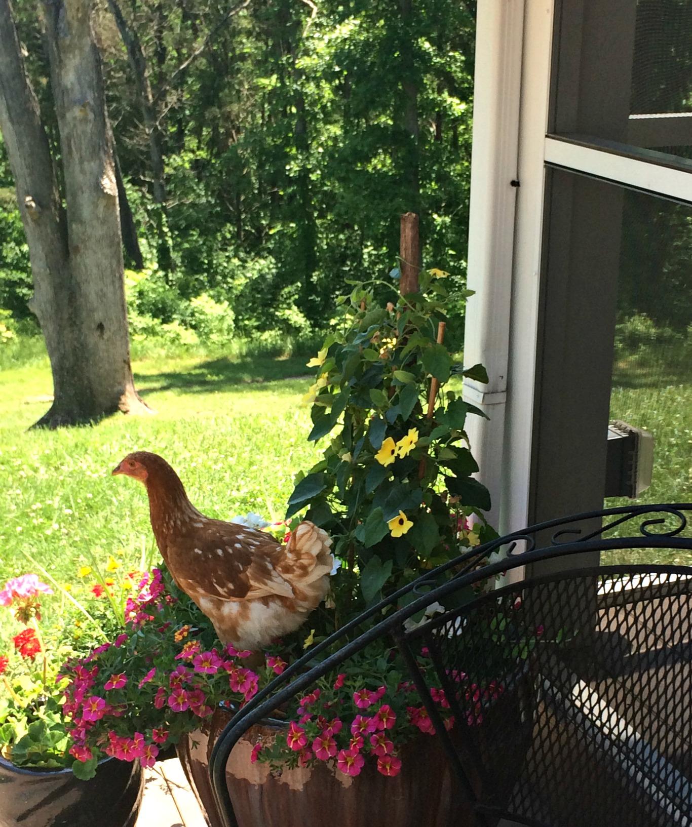 why i want to shoot my free range chickens u2013 farm fresh for life