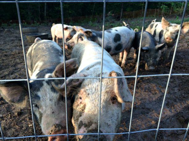 feeder pigs 7