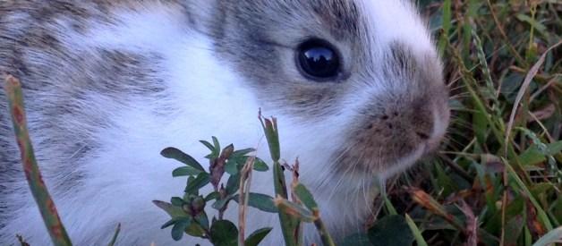 Can a Female Rabbit get Pregnant While she is Pregnant? – Farm Fresh