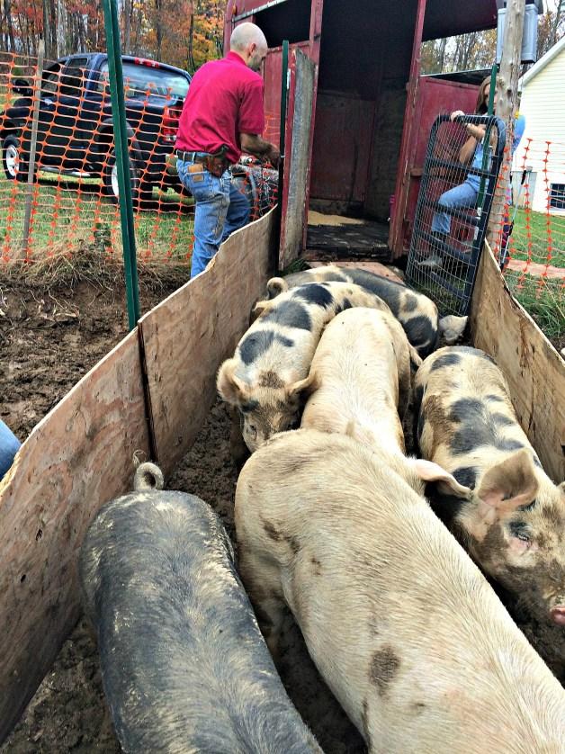 pig move 4