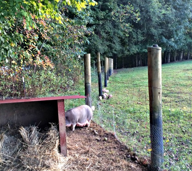 piglets free 1