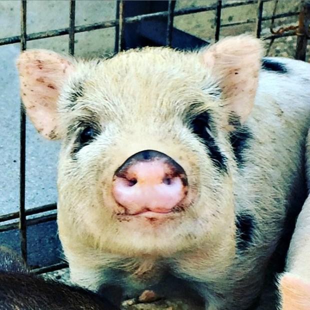 piglets free 5