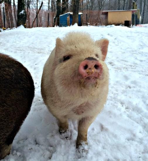 pig snow 2