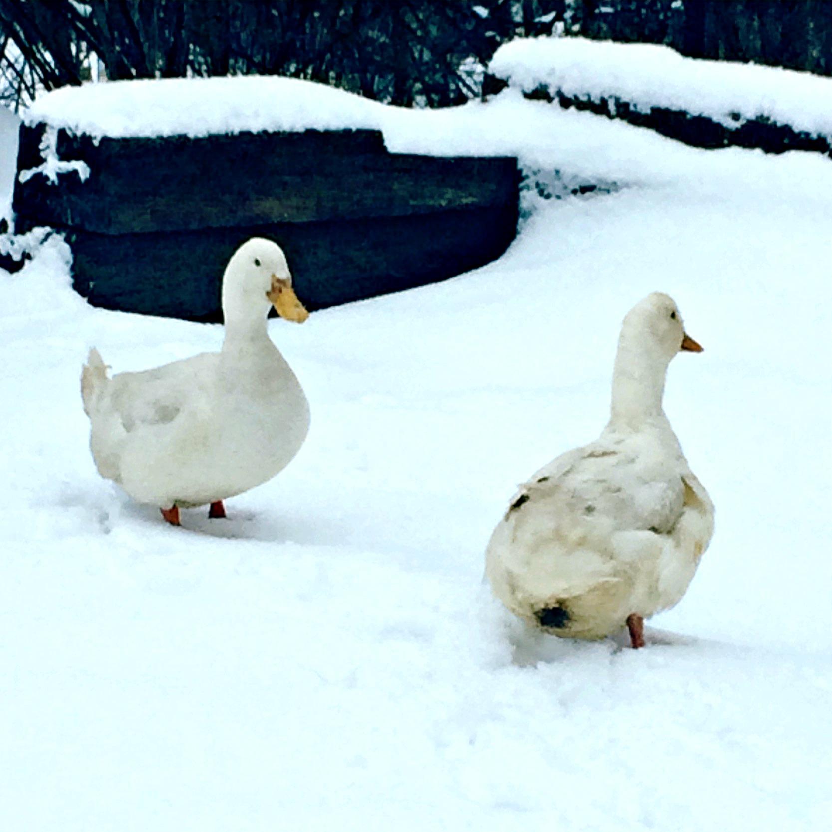 what you need to know about keeping ducks u2013 quack u2013 farm fresh