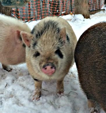 pigs snow 4
