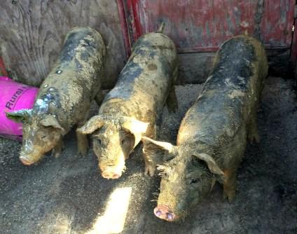 pigs! 6