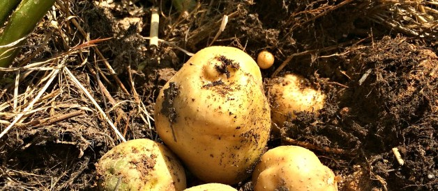 how to grow potatoes in a garden