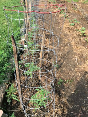 tomato stake 1