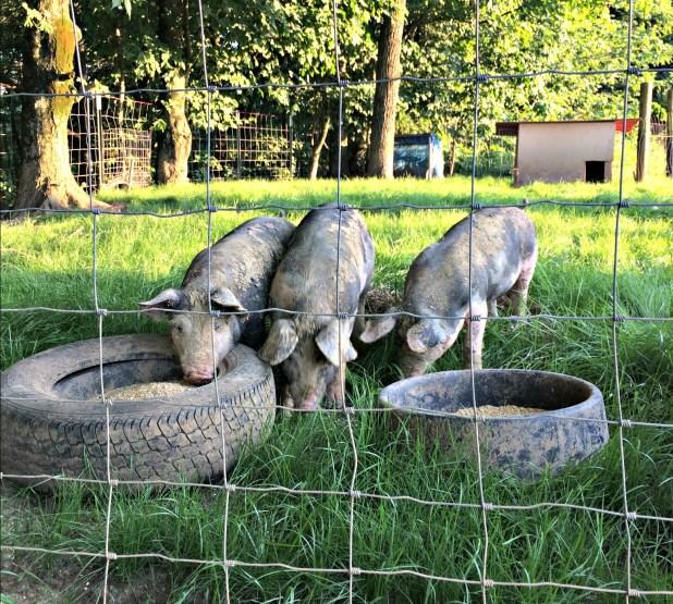 pigs-12