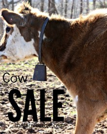 Experienced, Jersey, Family, Milk Cow for Sale (Gentle, Adorable, Healthy)