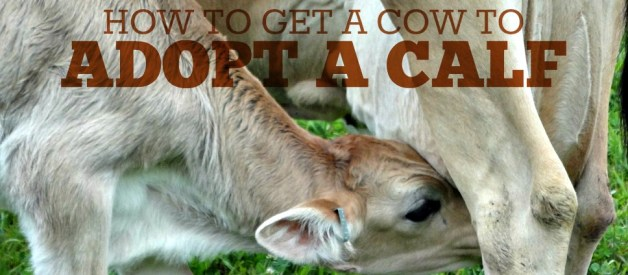 How to Get a Cow to Adopt a Calf