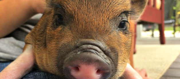 How Much Does It Cost To Raise a Pig? (Premium)