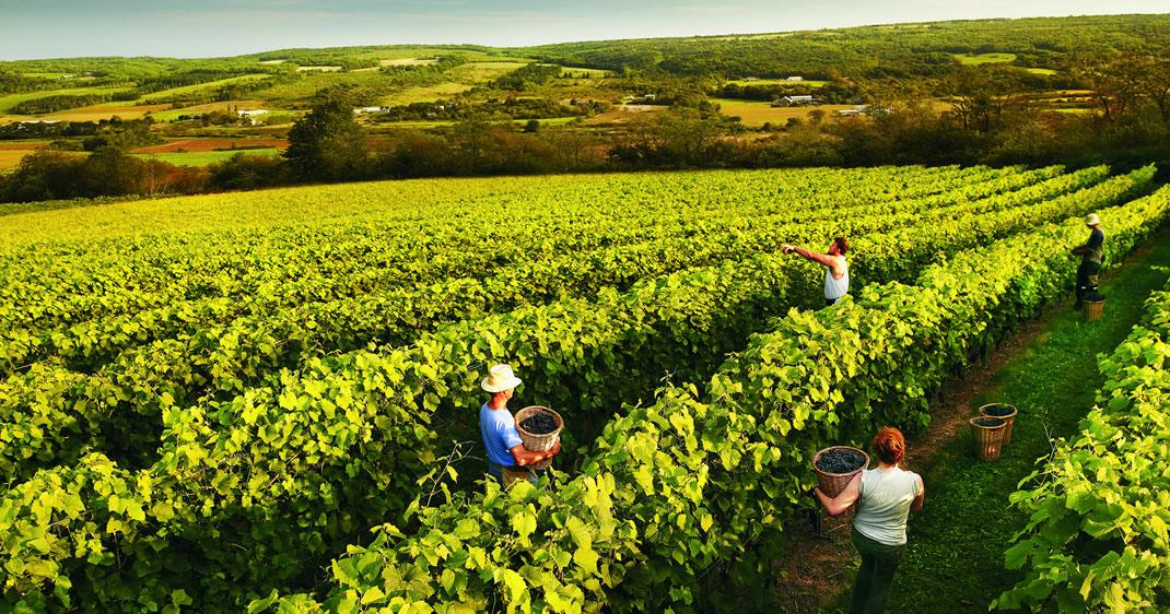Nova Scotia wine grape harvest
