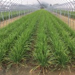 【櫻田農園】皆でニラの収穫と花摘みをしよう!