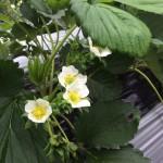 旬菜里で取り扱っている順子のいちご園を紹介