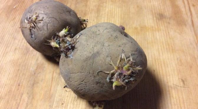 芽が出てしまったじゃがいもを植えたらじゃがいもできるの?