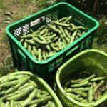 空豆収穫&落花生種付けやり直し