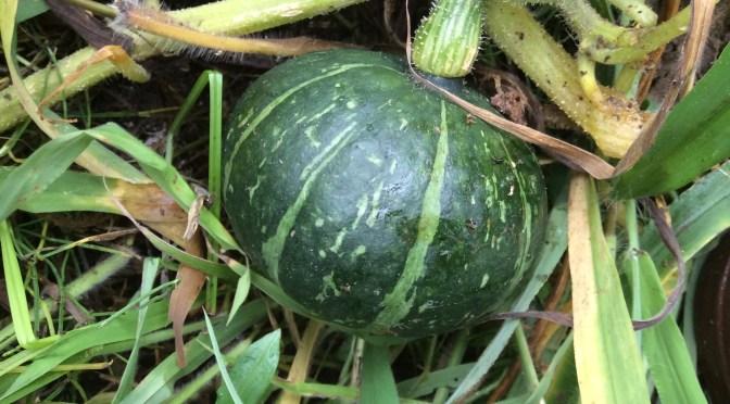 草の中にゴロッと!!かぼちゃできていました。