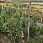 空豆、収穫するよー種まきから7ヶ月