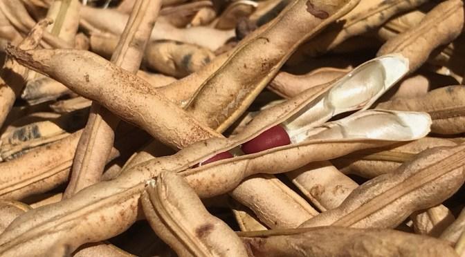 【里三畑】待ちに待った小豆の収穫