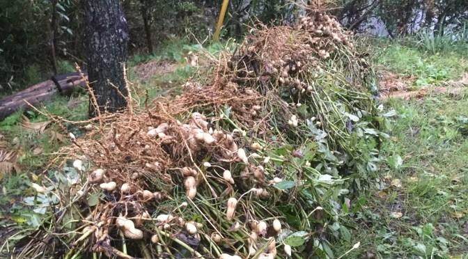 今年は落花生たくさん作りました。
