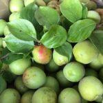 梅の収穫♩