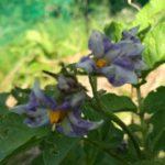 【芋芋体験】じゃがいもの花が咲いたよ